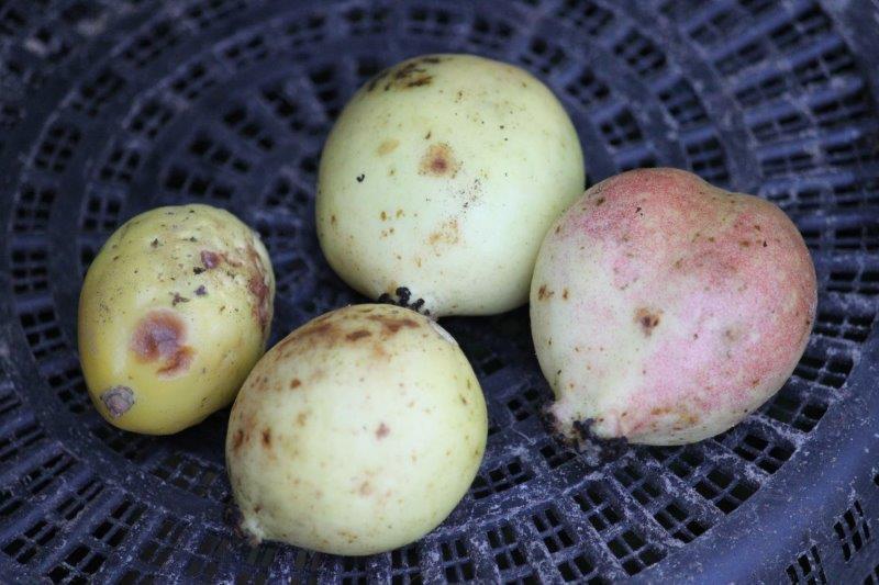 podophyllum fruit1