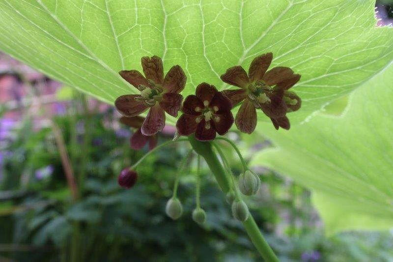 podophyllum mairei