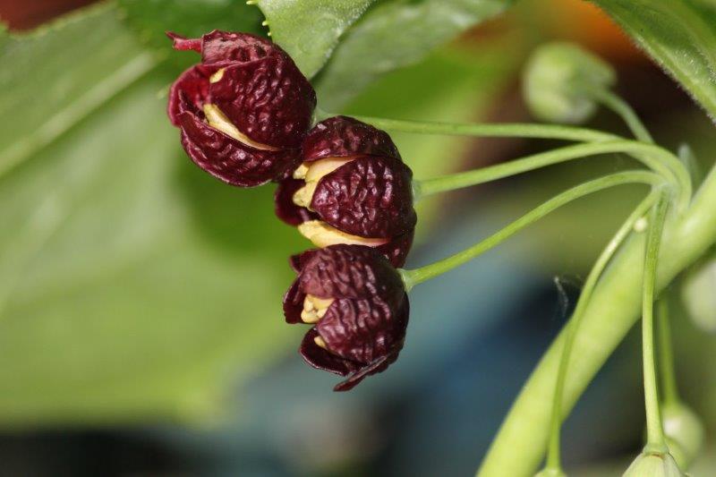 podophyllum mairei5