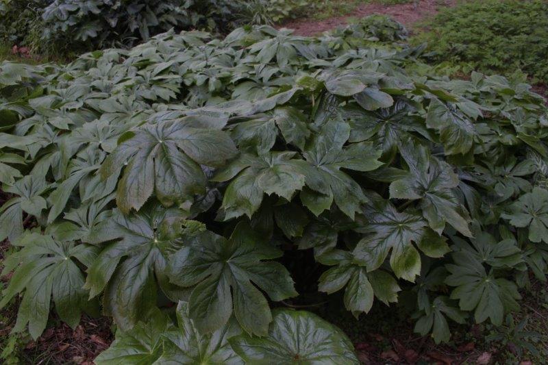 podophyllum peltatum x pleianthum1