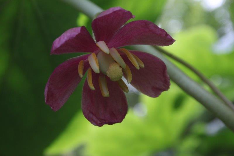 podophyllum peltatum x pleianthum11