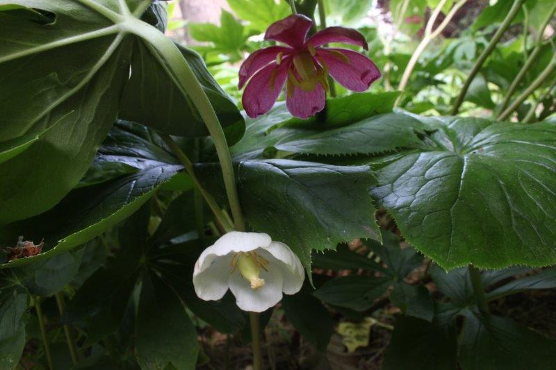 podophyllum peltatum x pleianthum3