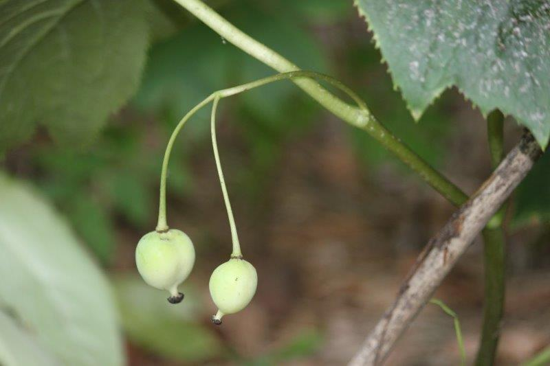 podophyllum peltatum x pleianthum4