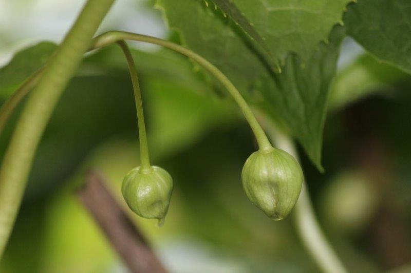 podophyllum peltatum x pleianthum6