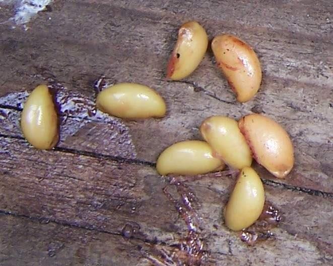 podophyllum pleianthum 40