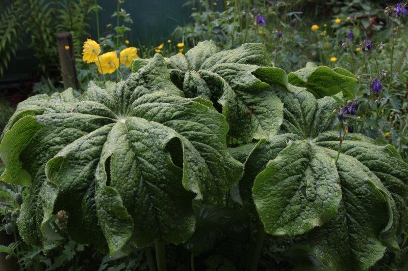 podophyllum pleianthum10