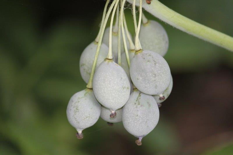 podophyllum pleianthum2