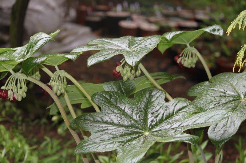 podophyllum pleianthum6