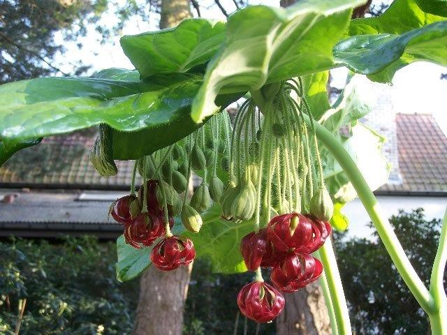 podophyllum versipelle (2)