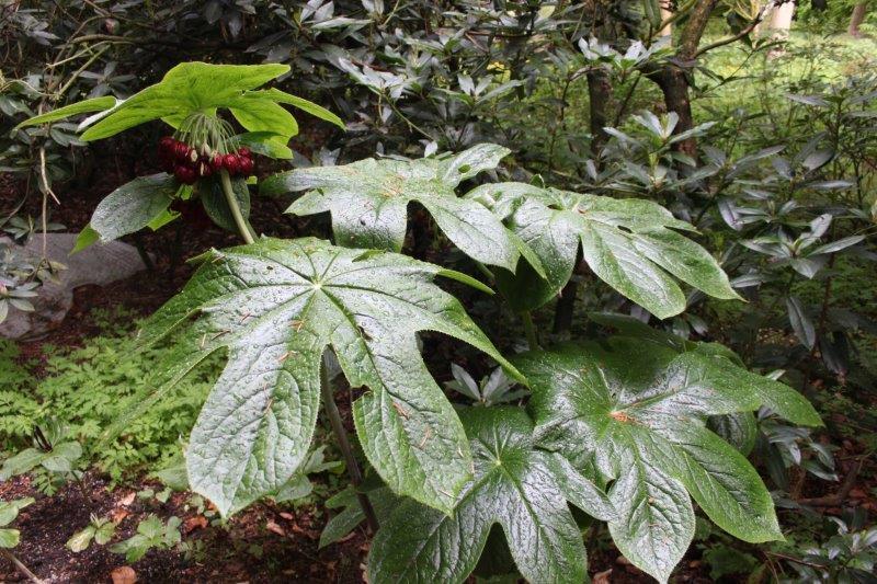podophyllum versipelle1
