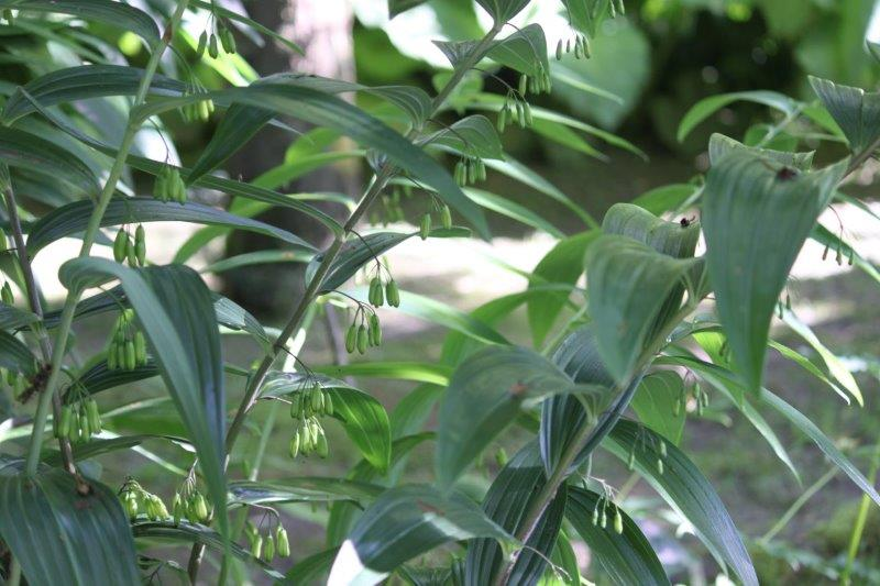 polygonatum cyrtonema1
