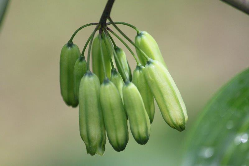 polygonatum cyrtonema2