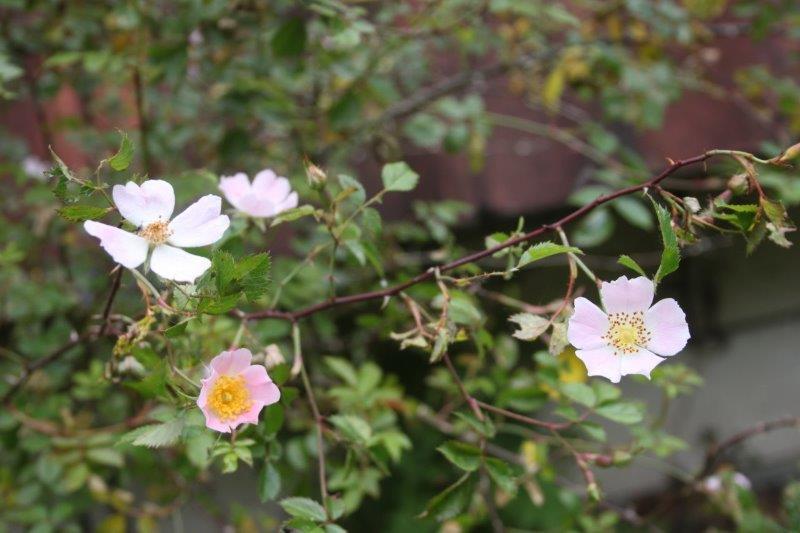 rosa species ex france portail de blieux