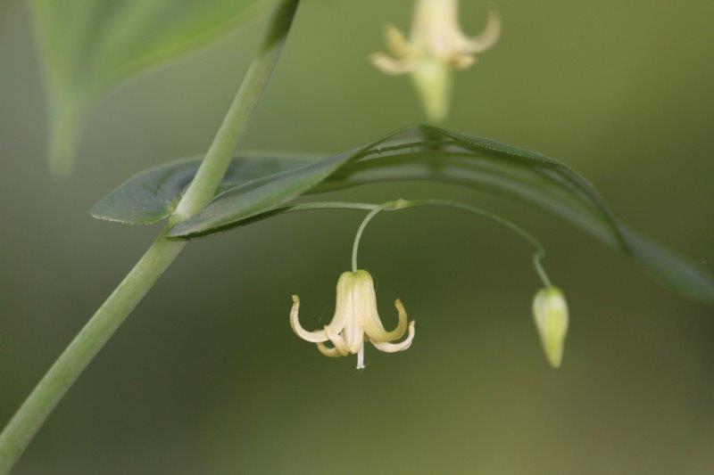 streptopus amplexifolius5