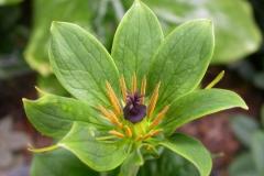 Paris polyphylla var yunnanensis