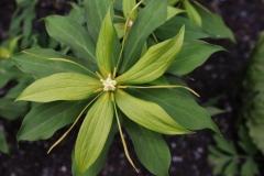 paris polyphylla alba1
