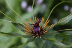 paris polyphylla var stenophylla1