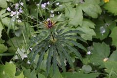 paris polyphylla var stenophylla2