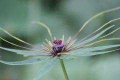 paris polyphylla var stenophylla7