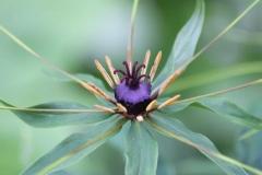 paris polyphylla var stenophylla8