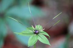 paris sp bicolored petals9