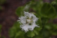parnassia foliosa subspecies foliosa