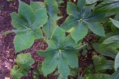 podophyllum aurantiocaule subspecies aurantiocaule10 (2)