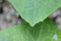 podophyllum aurantiocaule subspecies aurantiocaule10