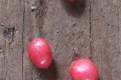 podophyllum aurantiocaule subspecies furfuraceum45