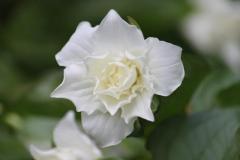 trillium grandiflorum flore pleno1