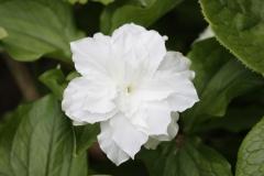 trillium grandiflorum snowbunting1