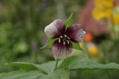 trillium rugellii hybrid2