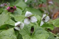 trillium rugellii hybrids