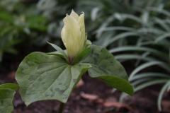trillium western sessile hybrid1
