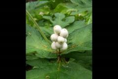triosteum pinnatifidum1 (2)