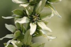 veratrum californicum10