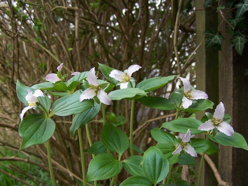 trillium hibbersonii