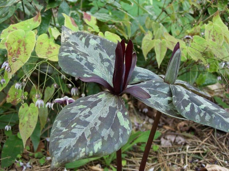 trillium maculatum (2)
