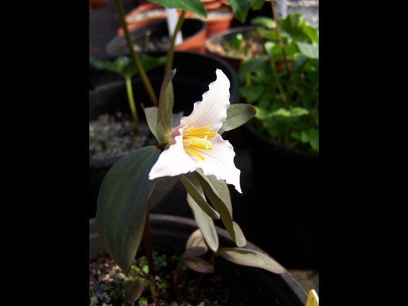 trillium pusillum (2)