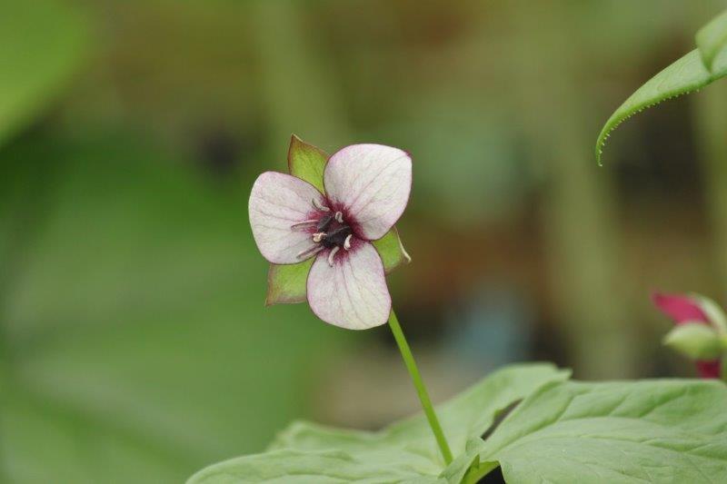 trillium rugellii hybrid5
