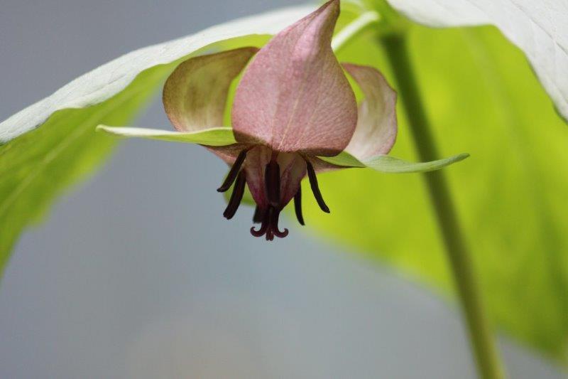 trillium rugellii1