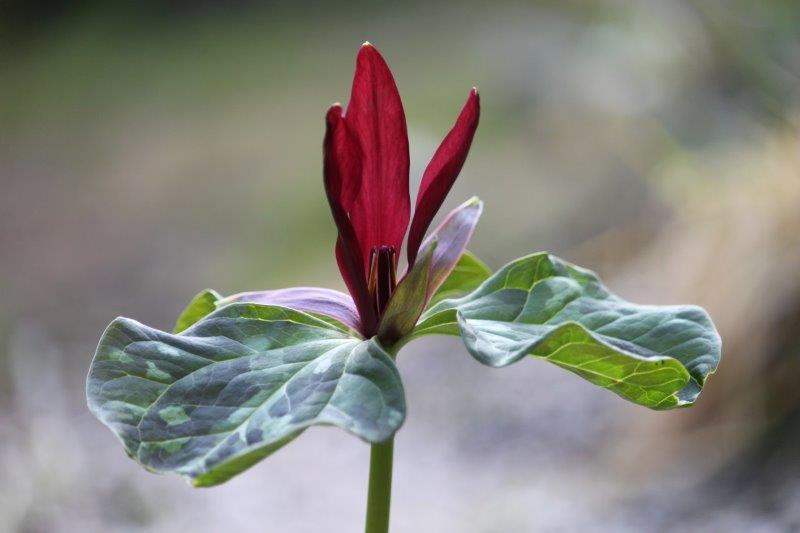 trillium western sessile hybrid