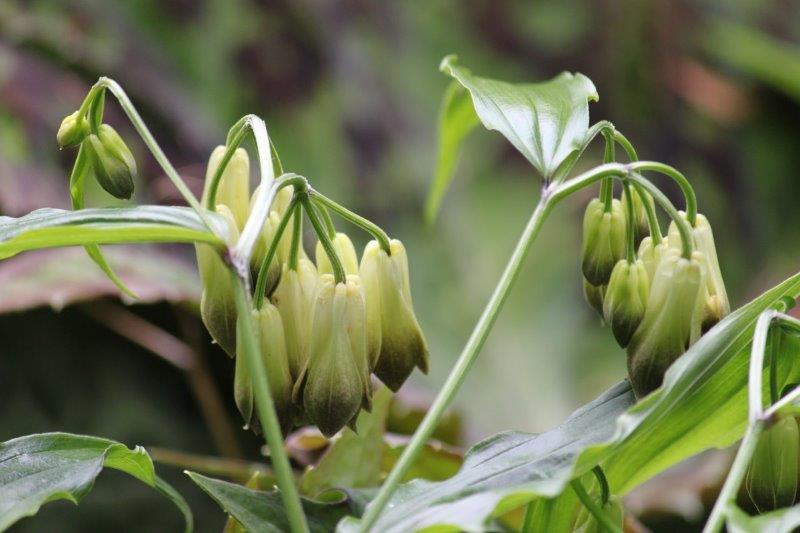 Disporum nantoense1