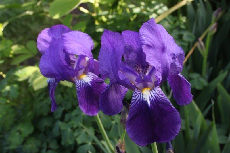 Iris lutescens1