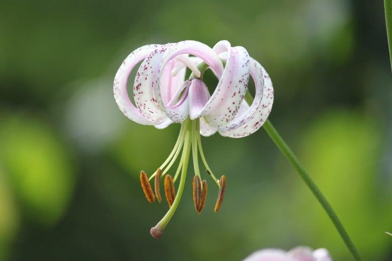 Lilium lankongense1 (2)