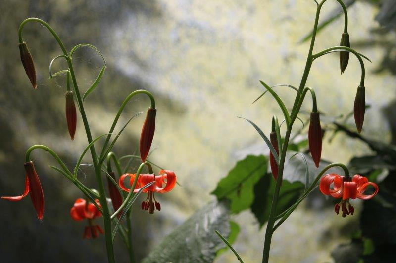 Lilium pomponium1