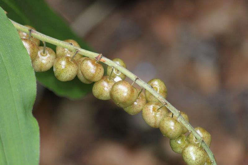 Maianthemum henryi1 (2)