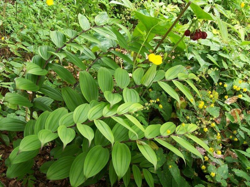 Maianthemum species
