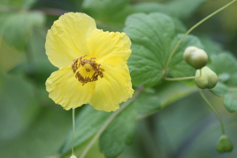 Meconopsis chelidonifolia1