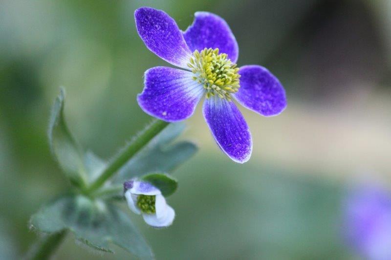 anemone obtusiloba pradesh2